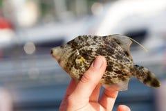 Filefish met een netvormig patroon Royalty-vrije Stock Fotografie