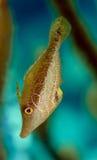 filefish nikły Zdjęcie Royalty Free