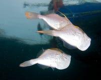 filefish pomarańcze Fotografia Stock