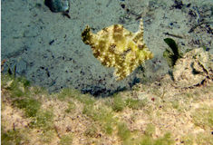 Filefish Stock Images