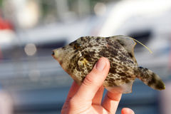 Filefish reticulado Fotografía de archivo libre de regalías