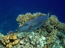 Filefish scribacchiato sulla barriera corallina Fotografia Stock Libera da Diritti