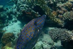 Filefish zbliżenie Zdjęcia Royalty Free