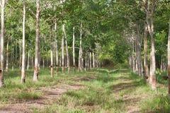 Fileira da árvore da borracha de para Foto de Stock Royalty Free