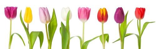 Fileira da beira das tulipas isolada fotografia de stock royalty free
