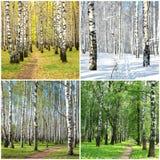 Fileira da colagem de quatro estações de árvores de vidoeiro imagens de stock royalty free