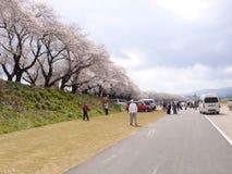 Fileira da flor de cerejeira Imagem de Stock