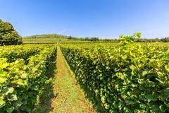 Fileira da jarda bonita da uva antes do por do sol com a montanha em Tokaj, Hungria Fotos de Stock