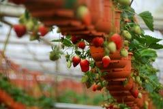 Fileira da morango na exploração agrícola coberta Imagem de Stock