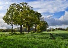 Fileira das árvores em um campo Fotografia de Stock Royalty Free