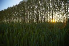 Fileira das árvores no campo Imagens de Stock Royalty Free