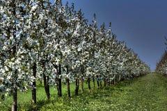 Fileira das flores brancas Fotos de Stock Royalty Free