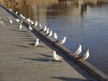 Fileira das gaivotas Imagens de Stock Royalty Free