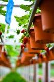 Fileira das morangos na exploração agrícola hidropônica em montanhas de Cameron, Malásia imagem de stock royalty free