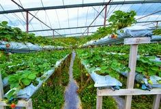 Fileira das morangos na exploração agrícola hidropônica em montanhas de Cameron, Malásia fotografia de stock royalty free