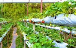 Fileira das morangos na exploração agrícola hidropônica em montanhas de Cameron, Malásia imagem de stock