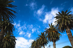 Fileira das palmeiras contra um céu azul, oásis Imagem de Stock Royalty Free