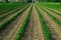 Fileira das plantas em um campo Imagens de Stock