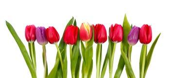 Fileira das tulipas Imagens de Stock