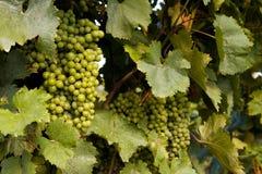 Fileira das uvas imagens de stock royalty free