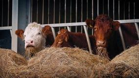 Fileira das vacas que comem o feno vídeos de arquivo