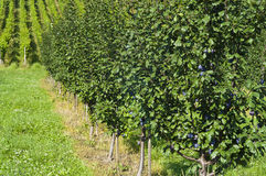 Fileira de árvores de ameixa em um pomar Imagens de Stock Royalty Free