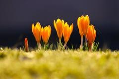 Fileira de açafrões de florescência do amarelo alaranjado no horizonte no sol em um parque Imagem de Stock Royalty Free