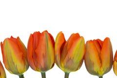 Fileira de bulbos alaranjados dos tulips Foto de Stock