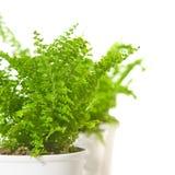 Fileira de ferns pequenos fotografia de stock