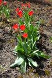 Fileira de florescer tulipas vermelhas imagens de stock royalty free