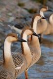 Fileira de gansos da cisne fotos de stock
