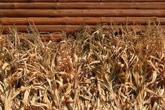 Fileira de hastes secadas do milho - fundo Fotos de Stock Royalty Free