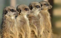 Fileira de Meerkats Imagens de Stock Royalty Free