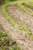 Fileira de plantas de milho Imagem de Stock Royalty Free