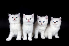 Fileira de quatro gatinhos brancos no fundo preto Fotografia de Stock Royalty Free