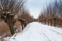 Fileira de salgueiros do descornado em uma área nevado fotografia de stock