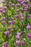 Fileira de tulipas roxas transparentes Imagens de Stock Royalty Free