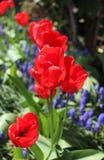 Fileira de tulipas vermelhas Imagem de Stock