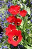 Fileira de tulipas vermelhas Foto de Stock Royalty Free