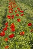 Fileira de tulipas vermelhas transparentes Foto de Stock