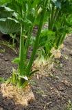 Fileira do aipo de raiz maduro Imagem de Stock