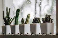 Fileira do cacto no potenciômetros brancos pequenos pela janela quando a chuva Fotografia de Stock