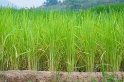 Fileira do campo do arroz Fotografia de Stock