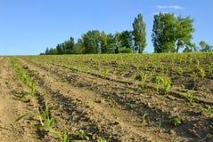 Fileira do milho no campo Imagem de Stock