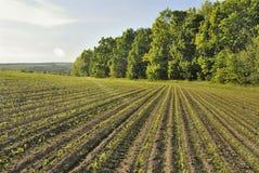 Fileira do milho perto da floresta Imagens de Stock Royalty Free