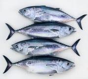Fileira do prendedor do thynnus do Thunnus dos peixes de atum do Bluefin quatro imagem de stock