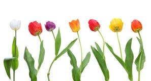 Fileira do Tulip Fotografia de Stock