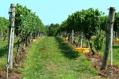 Fileira do vinyard da uva Fotos de Stock
