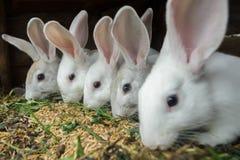 Fileira dos coelhos domésticos que comem a grão e da grama na gaiola da exploração agrícola Imagens de Stock Royalty Free