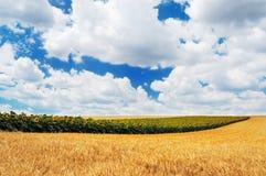 Fileira dos girassóis em um campo de trigo dourado Imagens de Stock